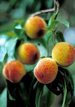 Peaches, Peach Tree Fruit, Photos, Images & photos pour Peach Tree identification