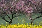Drzewa brzoskwiniowe, Kwitnąca brzoskwinia kwitnienia, obrazki, obrazy i zdjęcia do Peach Tree Identification