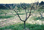 peach tree picture