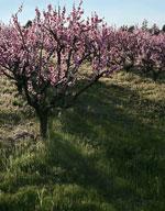 Peach Trees, Blühende blühenden Pfirsichbaum, Bilder & Fotos für Peach Tree Identification