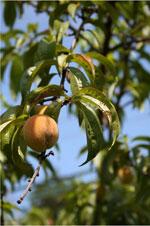 Peach Tree foto