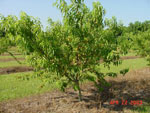 peach foto pohon