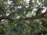 gambar pohon kemiri