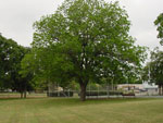 pecan treet