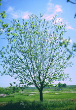 imagem da árvore de pecan