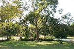 pokok pecan