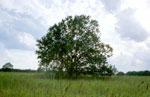 пекан дерево