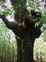 albero di pecan