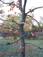 Persimmion Fruit Tree
