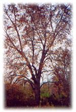 imagem da árvore de nogueira
