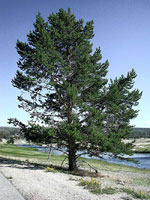 pine tree picture