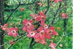 immagine albero di corniolo