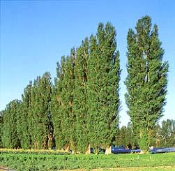 tree free wallpaper: Poplar Tree