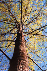 Poplar Tree picture; Poplar Trees Bark, Branches, Leaves Looking Up View