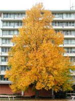 Pictures of Poplar Trees: Yellow Poplar Tree Type in Fall