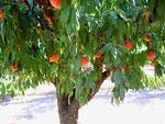 桃の木の写真