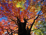 Autumn Maple Tree Picture, Fotos Ahornbäume, Herbst Maple Tree Images, Pics von Maples Trees