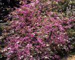 Redbud gambar pokok