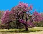 gambar pohon Redbud