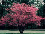 redbud tree picture
