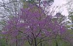 imagem da árvore de redbud
