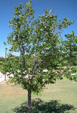 redbud image de l'arbre