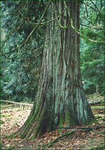 Red Cedar Tree photo