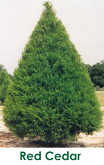 Ornamental Red Cedar Tree Picture
