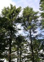 spruce puno larawan