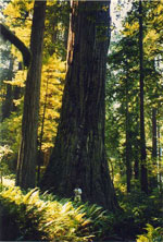 redwood tree picture
