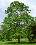 sassafras tree picture