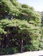 sassafras ağaç resmi