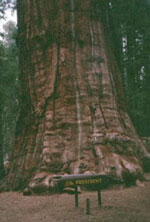 sequoia tree picture