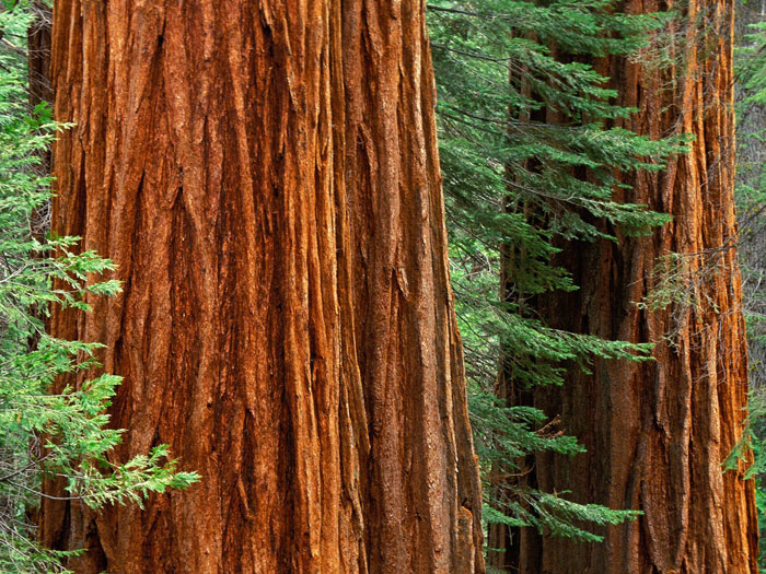 http://www.tree-pictures.com/sequoia-trees.jpg