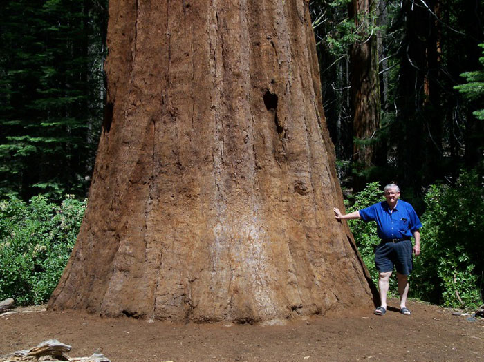 Iconic Sequoia 'Tunnel Tree' Brought Down By California Storm ...