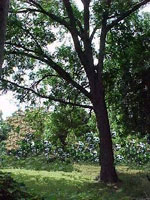 Pekan ağaç resmi