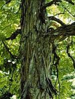 immagine albero di noce