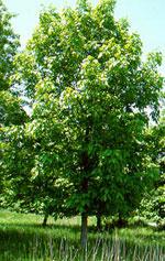 Hickory forfedre shellbark hickory