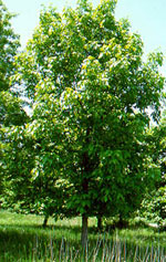 Hickory Árvore, Shellbark Hickory