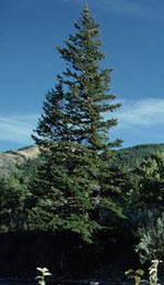 immagine albero di abete rosso