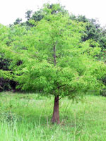 Bald Cypress Tree Gambar