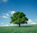 درخت بلوط زنده