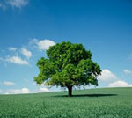 Na żywo Oak Tree