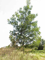 immagine albero di pecan