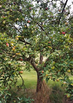 apple tree photo