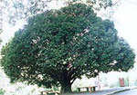 ebony tree picture