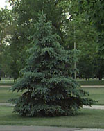 Blue Spruce, Colorado Blue Spruce Baum-Foto-