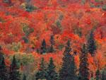 درختان افرا قند در رنگ پاییز
