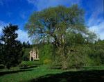 kestane ağacı resmi