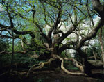 gambar pohon kastanye